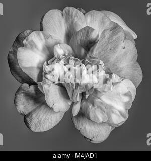 Fine art still life floral monochrome blossom macro portrait of a single isolated white fully opened blooming camellia - Stock Photo