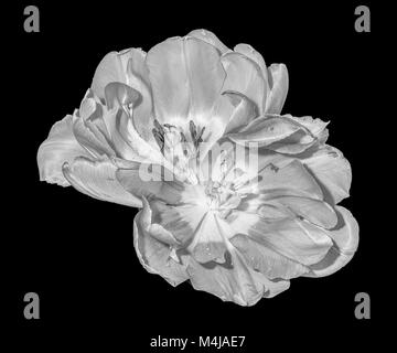 Fine art still life monochrome macro flower portrait of a pair of isolated fully wide opened blooming tulip blossoms - Stock Photo