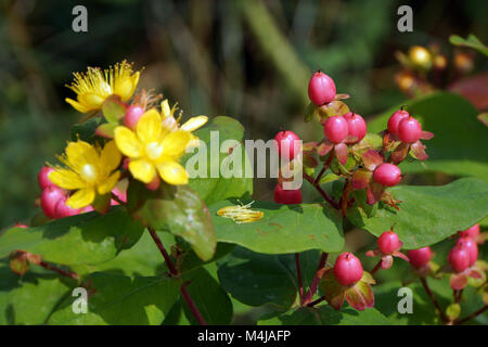 Hypericum spec. - Stock Photo