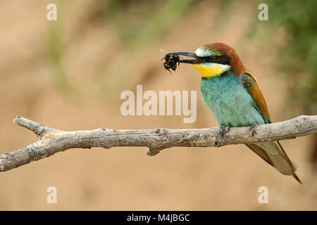 bee-eater on a branch with prey - Stock Photo