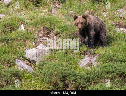 brown bear in Asturian lands, descending the mountain in search of foodThe brown bear (Ursus arctos) is a species - Stock Photo