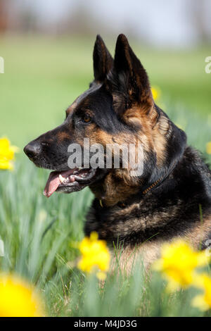 Attentive German Shepard dog on meadow - Stock Photo