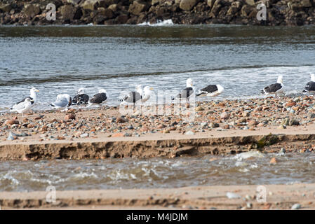 Herring Gulls and Black-backed Gulls on the beach in Seal Harbor, Maine. - Stock Photo