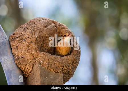 Rufous hornero in its clay nest, Pantanal, Brazil - Stock Photo