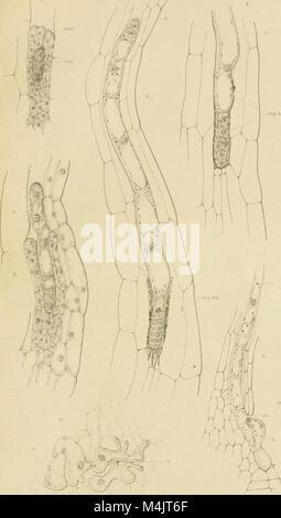 Annales du Jardin botanique de Buitenzorg (18404609882) - Stock Photo