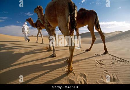 Algeria. Near Timimoun. Western Sand Sea. Grand Erg Occidental. Sahara desert. Bedouin walking with camels. Sand - Stock Photo