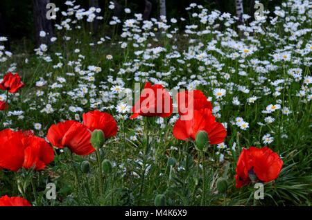 A breathtaking view of poppies and daisies in a flower garden during the early spring - Stock Photo