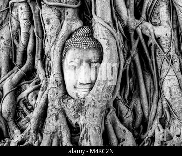 The head of a sandstone Thai Buddha  covered with spreading roots of a figus tree, Wat Mahatat, ancient city of - Stock Photo