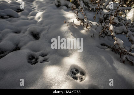 Coyote Track in Fresh Snow..Coyote Track in Fresh Snow. - Stock Photo