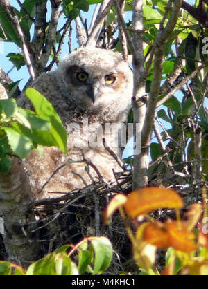 Around the Shark Valley Visitor Center parking lot. Great Horned Owl Hatchling. - Stock Photo