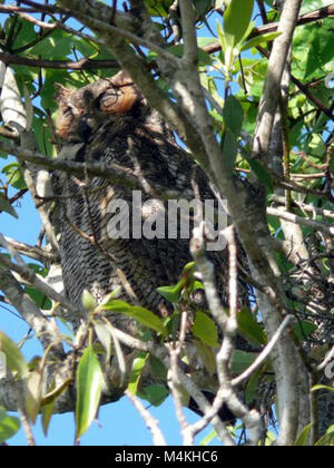 Around the Shark Valley Visitor Center parking lot. Great Horned Owl Sleeping. - Stock Photo