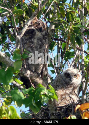 Great Horned Owls in nest formerly used by RedShouldered Hawk.  Around the Shark Valley Visitor Center parking lot - Stock Photo