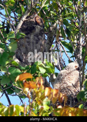 Great Horned Owls in nest formerly used by RedShouldered Hawk.  Originally a crow's nest.  Around the Shark Valley - Stock Photo