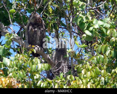 Great Horned Owls around the Shark Valley Visitor Center parking lot Great Horned Owls. - Stock Photo