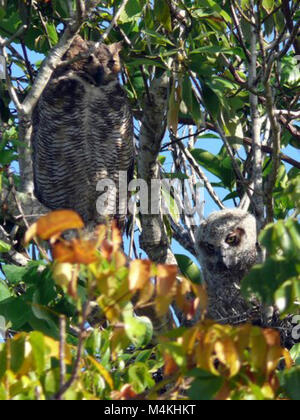 Great Horned Owls in nest. Around the Shark Valley Visitor Center parking lot Hatchling Nodding Off. - Stock Photo