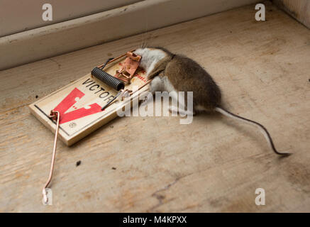A dead mouse in a Victor mouse trap. House mouse, Mus musculus domesticus - Stock Photo