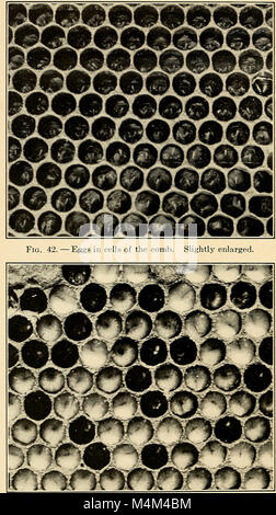 Beekeeping; a discussion of the life of the honeybee and of the production of honey (1915) (20173350318) - Stock Photo