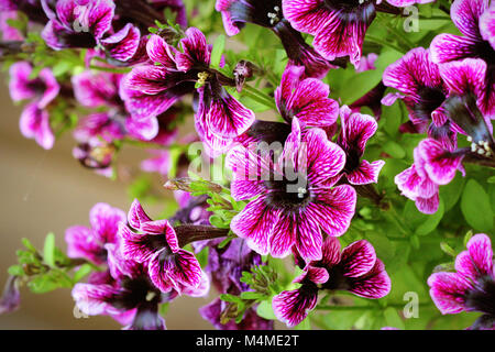 Purple petunia flowers in the garden in spring time. Shallow depth of field - Stock Photo
