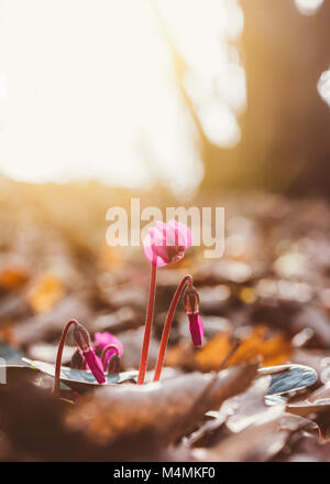 flowers cyclamen in the morning spring forest - Stock Photo