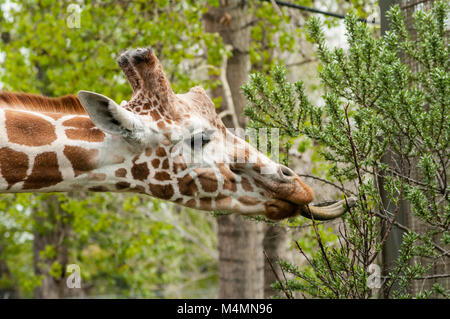 Side head shot of giraffe with tongue eating leaves from a branch - Stock Photo