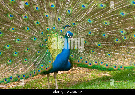 Frontal view of peacock bird standing with tail feathers opened - Stock Photo
