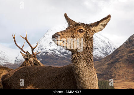 Wild female, or hind, Red Deer (Cervus Elaphus) during winter in  Glen Etive, Scotland. Snow capped mountains behind. - Stock Photo