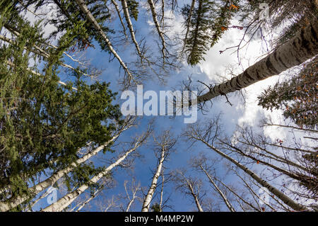Looking up at the tops of deciduous and coniferous trees in a forest against the sky in springtime. - Stock Photo