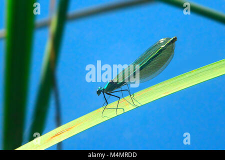 blue dragonfly sits on the green leaf above water - Stock Photo