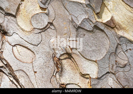 bark of austrian pine - Stock Photo