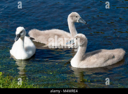 Three young cygnets of mute swan swimming in a lake - Stock Photo