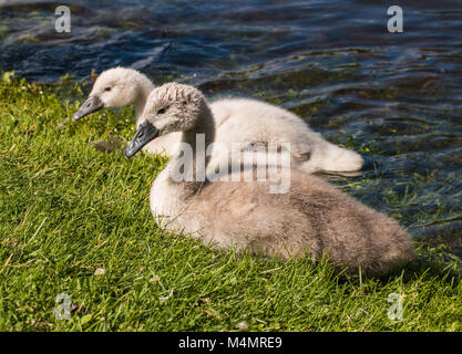 Two young cygnets of mute swan swimming in a lake - Stock Photo