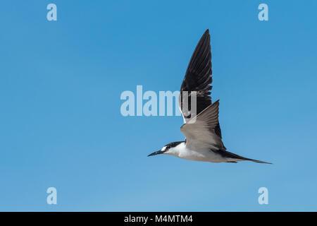 Sooty Tern (Sterna fuscata), Bird Island, Seychelles - Stock Photo