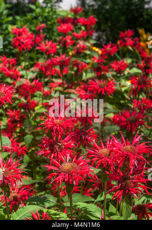 A home garden bed filled with bright, red Mondarda plants, Monarda didyma, also called Bee Balm, Oswego Tea and - Stock Photo