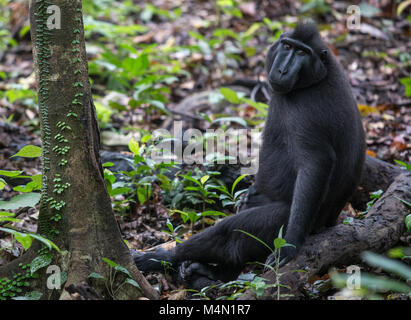 Black macaque monkey sitting in forest, Tangkoko national park, Indonesia - Stock Photo
