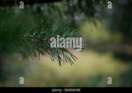 Pines, Arcadia Dunes, MichiganWoods - Stock Photo