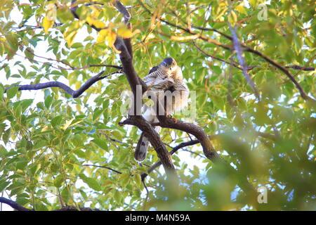 Eurasian sparrowhawk (Accipiter nisus) in Japan - Stock Photo