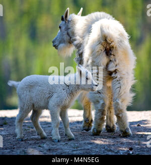 Mountain Goat and Kid - Jasper National Park, Alberta, Canada - Stock Photo
