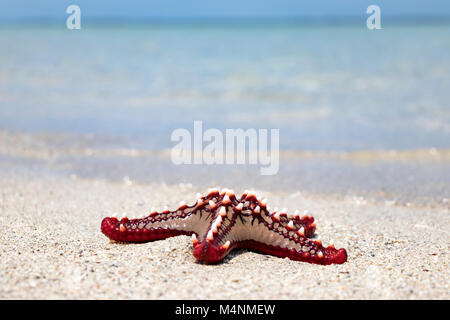 Colorful African red knob sea star or starfish on beach with ocean in background - Stock Photo