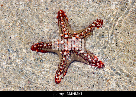 Red Knobbed Starfish On The Beach Stock Photo Royalty