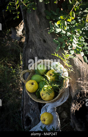 A basket of quimces and lemons on a tree - Stock Photo
