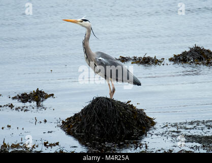 Grey Heron (Ardea cinerea) adult wading in shallow water. Loch na Keal, Island of Mull, Scotland. - Stock Photo