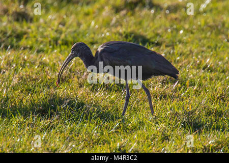 Glossy Ibis with a Worm for food in a green Field - Stock Photo