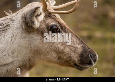 A brown reindeer with big eyes shot in Lapland, Finland in the spring - Stock Photo