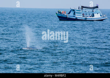 Eden's Whale (Balaenoptera edeni), a pending split from Bryde's Whale, is characterized by 5 rostrum ridges - Stock Photo