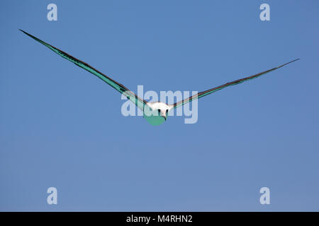 The turquoise color of the Laysan Albatross's underside, reflected from a shallow atoll lagoon, was a navigation - Stock Photo