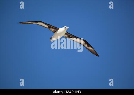 Laysan Albatross (Phoebastria immutabilis) flying over Midway Atoll - Stock Photo
