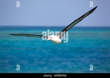 Laysan Albatross (Phoebastria immutabilis) flying over Midway Atoll lagoon in the Pacific Ocean - Stock Photo