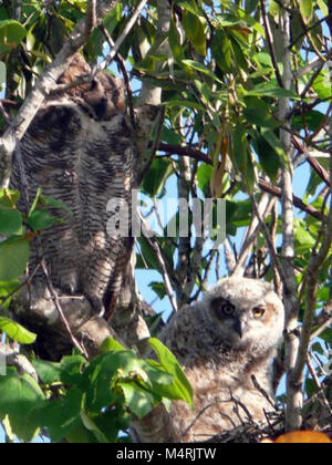 Great Horned Owls in nest around the Shark Valley Visitor Center parking lot Owls in Shark Valley. - Stock Photo