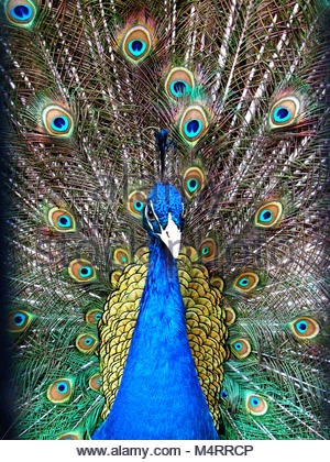 Magnificent blue peacock with the tail fanned out shot up close, front view - Stock Photo