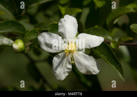 White and yellow flower name is fried egg tree or oncoba spinosa white and yellow flower name is fried egg tree or oncoba spinosa forssk stock mightylinksfo